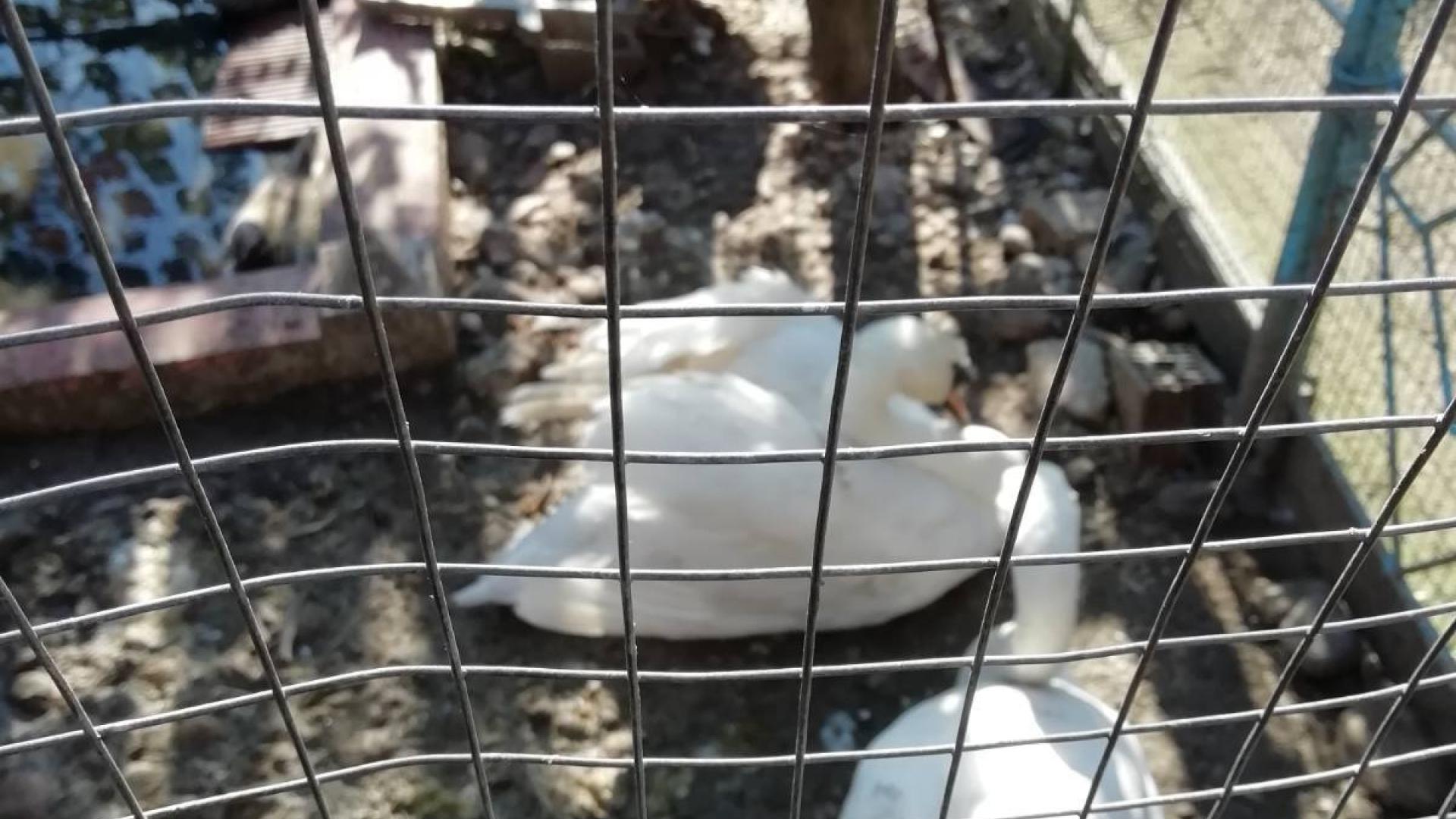 Пускат край Бургас освободени неми лебеди, отглеждани незаконно в Иваново