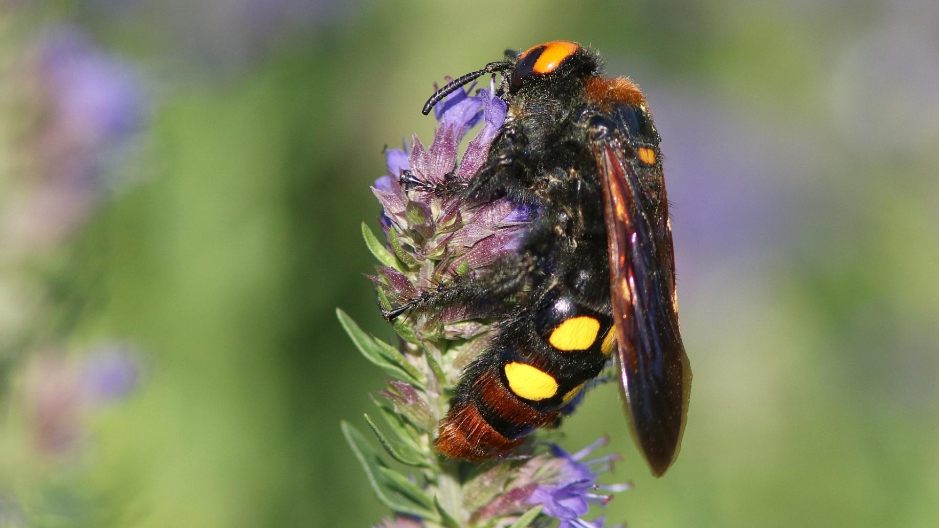 Жълточелата сколия - нaй-едрата оса в България и Европа