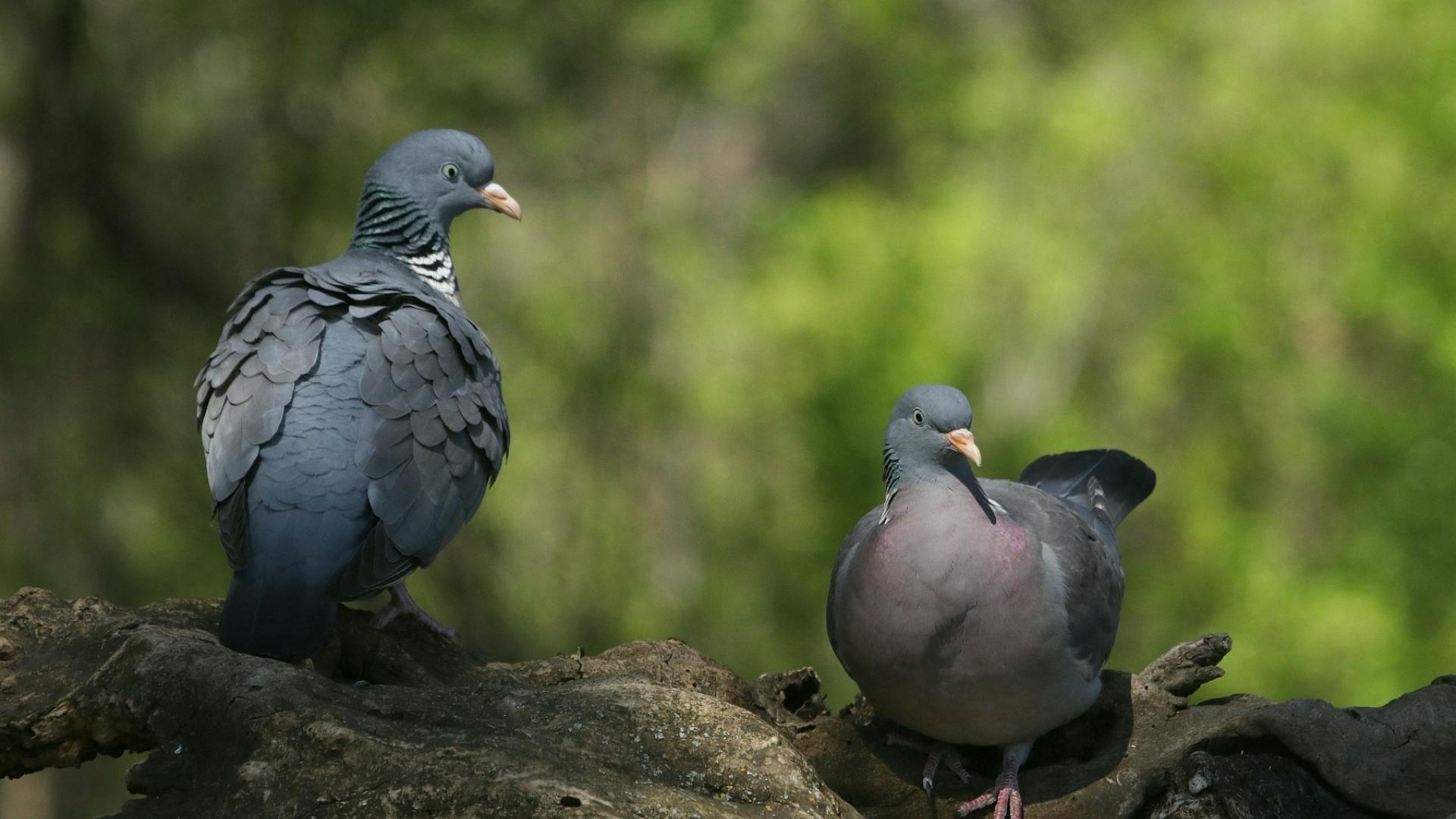 Гривякът - новото попълние на дивата фауна на Русе