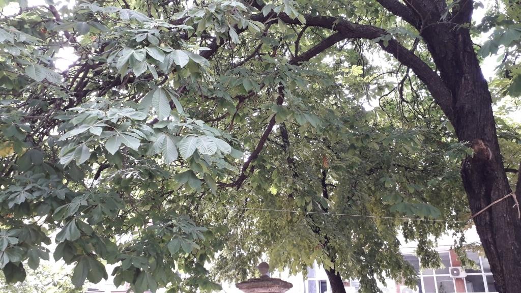 """Подкастрят клоните на вековни дървета в двора на  """"Света Троица"""""""