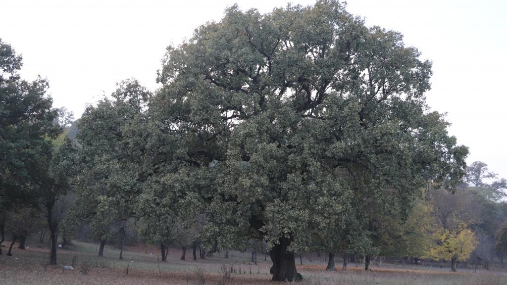 5 зимни дъба на повече от 800 години са най-старите дървета в Русенско