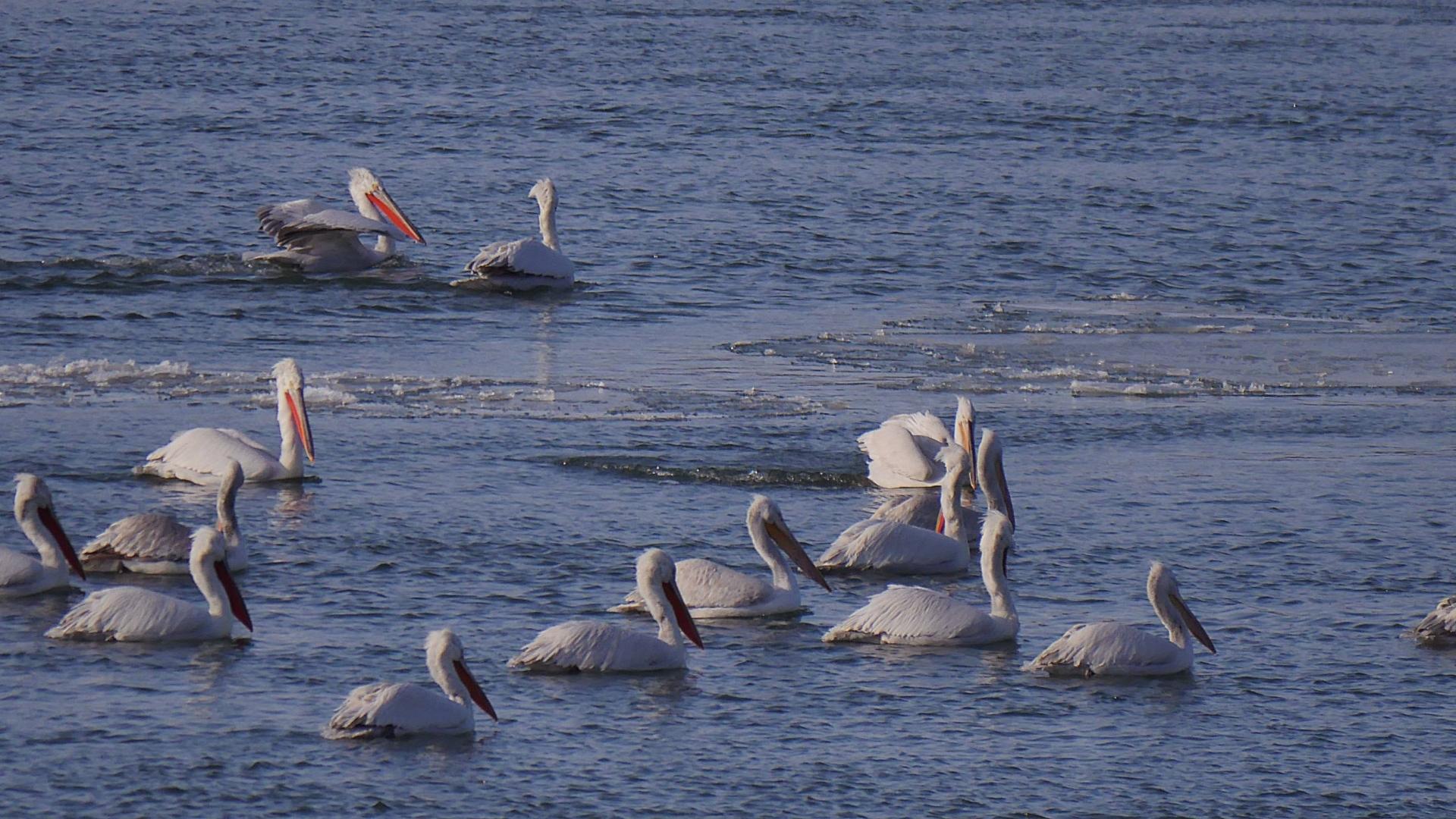 Русенски специалисти се включват в преброяването на зимуващите птици